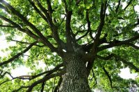 European Tree of the Year