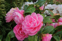 February – HTA Plant of the Moment - Camellias for early colour