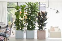 Houseplant of the month: Large-leaved Ficus