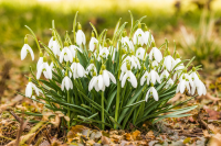 Ireland's snowdrop season is about to begin