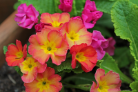 March - HTA Plant of the moment - Spring has sprung with perfect primulas