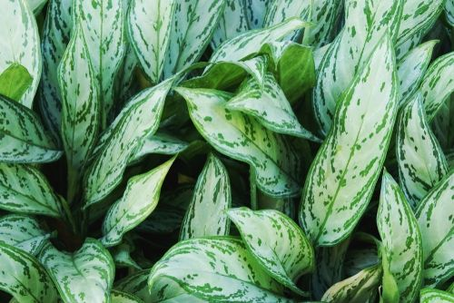 Plant of the Week: Aglaonema