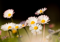 Plant of the week: Bellis Perennis (Daisy)