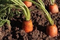 Plant of the Week: Carrots