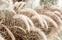 Plant of the Week: Pennisetum